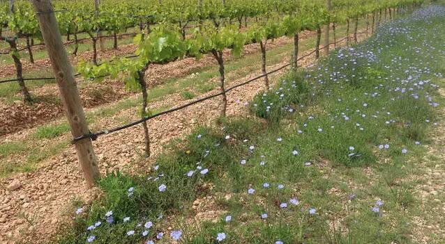 纳瓦拉葡萄种植与酿造研究所试验成熟期较长的葡萄品种