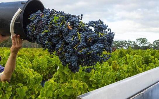 2021年澳洲葡萄收成丰盛,葡萄价格将会下降