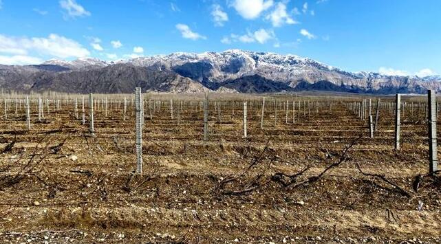 和硕县6万余亩酿酒葡萄进行出土上架