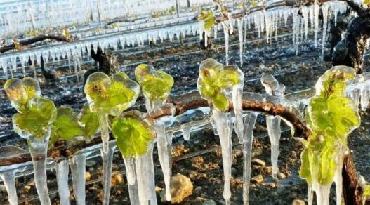 """严重""""晚霜""""灾害导致法国部分葡萄酒产区收成减少90%"""