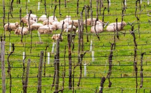 葡萄园放牧在意大利各大葡萄酒产区兴起