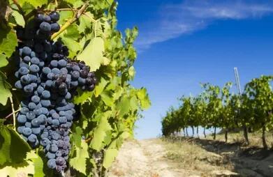 意大利研究人员进行葡萄酒DNA溯源的可行性