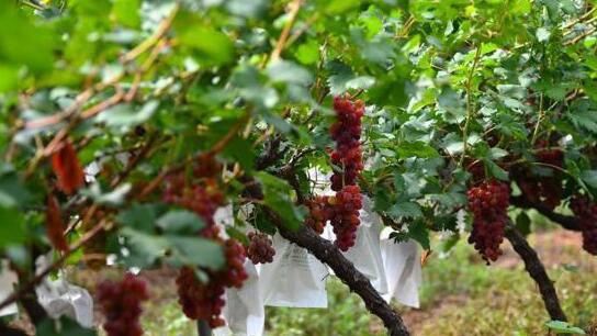 纽约科学家开发低成本系统,可以准确预测葡萄园单产