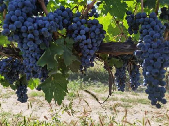 宁夏获批建立国家葡萄及葡萄酒产业开放发展综合试验区
