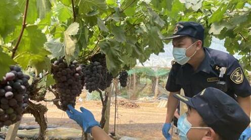 云南昆明海关助力建水葡萄走出国门,打开国际市场