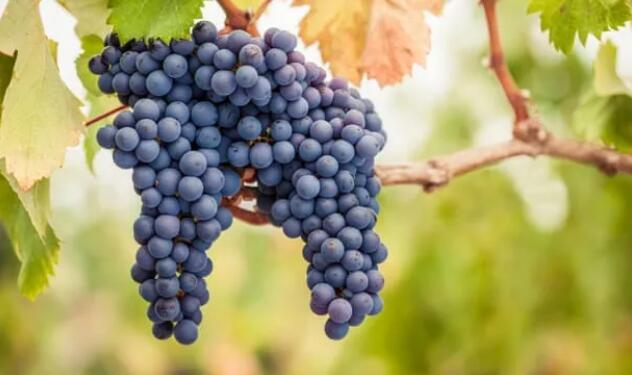 勃艮第开始尝试种植新的葡萄品种