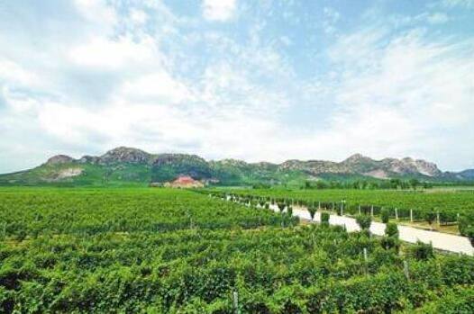 昌黎县打造特色葡萄酒产业发展新高地