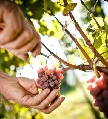意大利农业食品市场行情研究机构发布意大利葡萄园平均收入报告