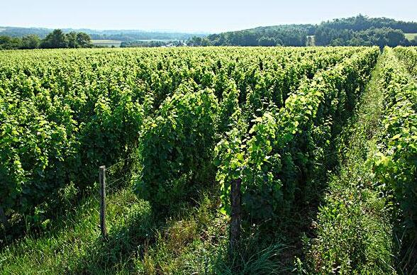 在过去10年里,意大利有机葡萄园面积增长100%以上