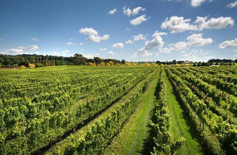 玛纳斯县5000亩酿酒葡萄开始有序栽植