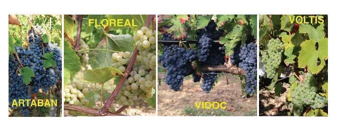 4种新法国葡萄品种被划入欧亚种葡萄科目