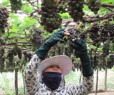 越南宁顺省推进优质潜力葡萄新品种研究和培育工作