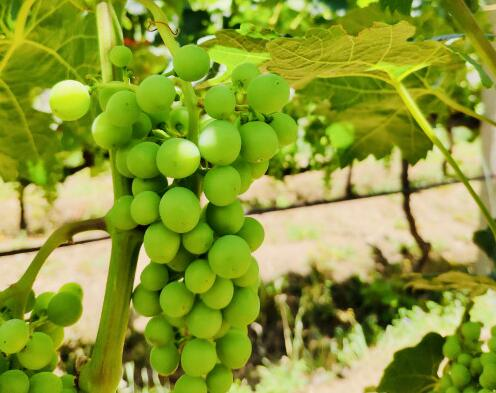 云贵高原德钦地区酿酒葡萄进入膨大期