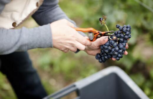 香槟区2021年采收季将在9月中旬开始