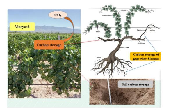 李华、王华教授团队在酿酒葡萄园生态系统碳汇方面取得新进展