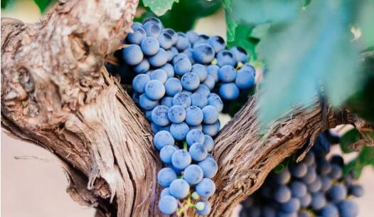 财政部进行调研,有望为国产葡萄酒产业减税