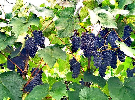 四川攀枝花酿酒葡萄进入采收季