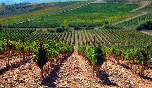 卡斯蒂利亚-拉曼恰产区葡萄园如何应对全球变暖趋势?