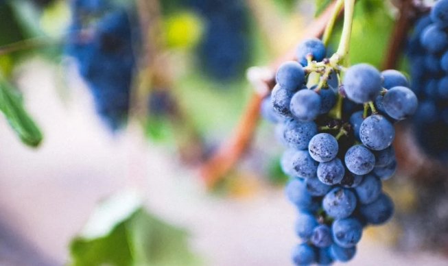 欧盟将允许使用欧亚种系杂交品种来酿造葡萄酒
