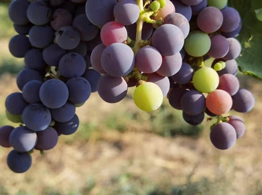 """""""2021年新疆丝绸之路葡萄酒节""""将在9月底举行"""