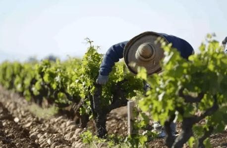 意大利葡萄2021年产量将下降5%-10%