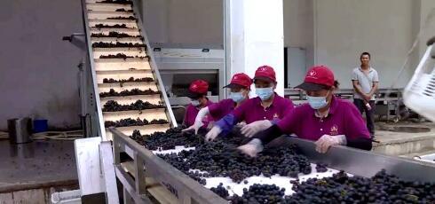 乐昌市优质酿酒型葡萄迎来丰收