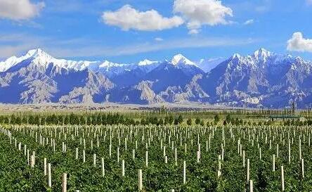 新疆和硕县葡萄产区出产葡萄酒62个系列218种