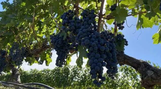 宁夏葡萄酒产业用地确权登记有所改动