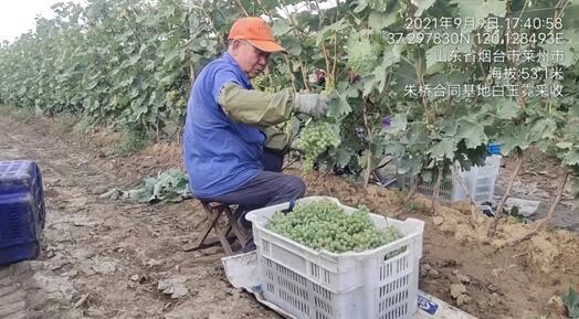 央视报道烟台朱桥镇酿酒葡萄种植基地