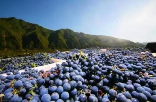 """通化市打造""""葡萄酒+""""产业融合发展模式"""