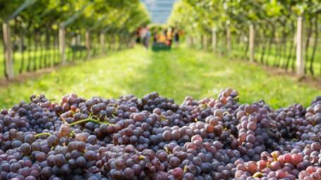 意大利葡萄酒巩固世界生产领导地位