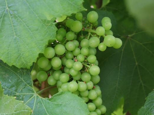 OIV报告显示全球有机葡萄种植呈不断增长趋势