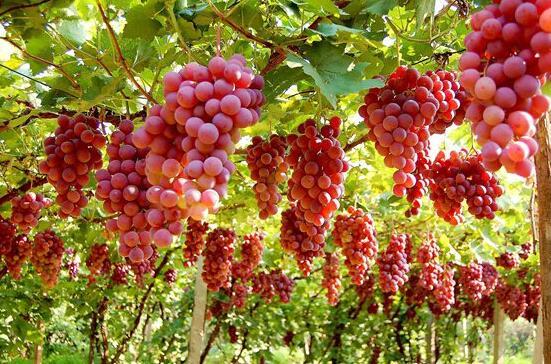 吐鲁番葡萄产品质量追溯系统网络平台正式上线运行